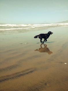 flat coated retriever on a san francisco beach