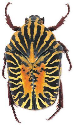 Gymnetis stellata, 2cm Mexico- Exoskeleton: a little perfect armor