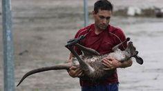 Este homem que arriscou a vida para salvar um bebê canguru do afogamento