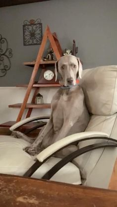 Funny Dogs, Cute Dogs, Weimaraner, Recliner, Animals And Pets, Dog Lovers, Relax, Puppies, Tv