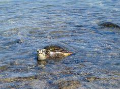 Giant Sea Turtle - Pakua, HI