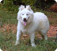 9/24/16 York, SC - Samoyed/Husky Mix. Meet Teddy, a dog for adoption. http://www.adoptapet.com/pet/16680009-york-south-carolina-samoyed-mix