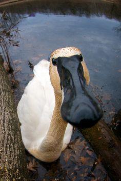 Trumpeter Swan. Photo by Matt Tiegs
