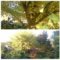 De Gingo in de Japanse tuin is goud geel en is het helejaar bijzonder. 11-11-2016.