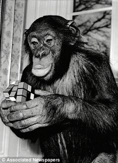 Chimp Solving Rubik's Cube