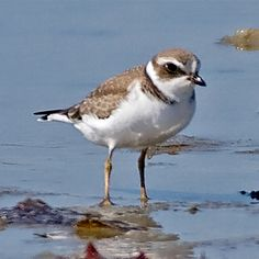 Semipalmated Plover 8-28-2014