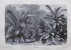 1898 CYCADEEN alter Druck antique Print Lithographie Pflanze Pflanzen Botanik