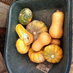 Wheelbarrow of #pumpkin anyone? Don't mind if I do! #organic #veggies #pumpkinsoup #market #organicmarket #healthy #healthfood #nature #natural #glutenfree
