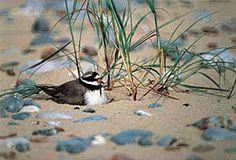 Ringed Plover at nest