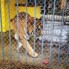 Thanks to my good furiends @coco_sazerac and their mom for visiting and sharing this pic! #tiger #tigers #tonythetruckstoptiger #louisiana #freetonytiger #tigertruckstop #captivetigers