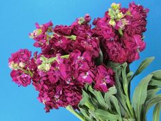 Stock is fragrant and comes in a ton of colors - white, cream, pink, purple etc.