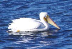 White Pelican - Bolsa Chica Ecological Reserve http://laoutdoorfamily.com/local-wildlife.html