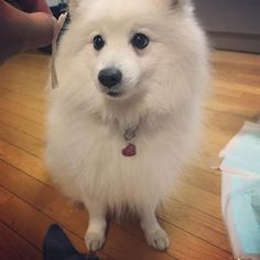 DOUBLE TAP if you love dog.    #doglovers #japanesespitz #spitz #dogstagram #animallovers #dogvideos #catvideos #petvideos #petvideo #cutepets #petoftheday #animalvideos #animalvideo