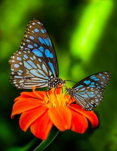 500px / Blue butterfly by Anek S