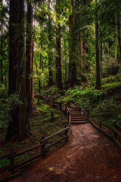 Old growth Coastal Redwoods, at Muir Woods, near San Francisco, California. Great tranquil place to visit.