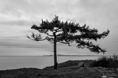 Lone Tree, Rosario Head, Deception Pass State Park, Washington, 2015    Click the picture above for information on purchasing a fine art photography wall print.   #blackandwhite #nature #landscape