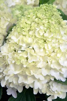 Buy Southern Living White Wedding Hydrangea (landscape, green foliage, white flower) at Root 98 Ware Cut Flowers, White Flowers, Easy To Grow Houseplants, Endless Summer Hydrangea, Hydrangea Landscaping, Butterfly Bush, Perfect Plants, Live Plants, Southern Living