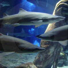 Swim With The Sharks | Shark Swim | Great White | Shark Adventure | Unique Shark Gift Experience | Excitations