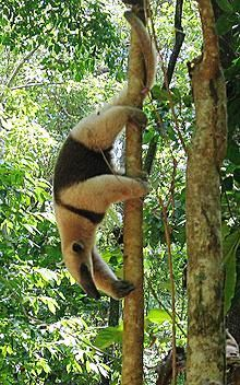 The Northern Tamandua 5 exotic animals to see in Costa Rica http://news.co.cr/5-exotic-animals-you-dont-want-to-miss-in-costa-rica/32258/