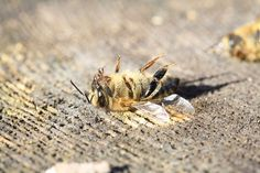 More than 500 million bees were found dead in Brazil over a three-month period earlier in Now, scientists are linking these mass die-offs to an increase pesticides use, fueled by the weakening of chemical regulations by the Bolsonaro administration Dead Bees, Bee Safe, Types Of Insects, The Future Of Us, Beneficial Insects, Rio Grande Do Sul, Felder, Bee Keeping, Brazil
