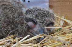 slapende jonge uil