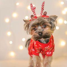 #Repost @ollie_the_yorkie_  Deer Santa ...
