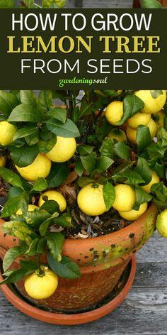 Indoor Vegetable Gardening, Veg Garden, Fruit Garden, Easy Garden, Gardening Vegetables, Garden Ideas, Growing Lemon Trees, Growing Flowers, Growing Plants