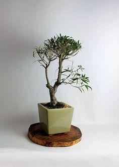"Willow leaf fig bonsai tree ""Winter Fig collection by LiveBonsaiTree"" by LiveBonsaiTree on Etsy"