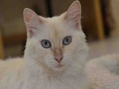 My name is Princess and my Foster Mom thinks I am gorgeous! I have the most amazing blue eyes and am not afraid to show my affection to anyone who will scratch my head and stroke my back. Please give me a good home and I will shower you with...