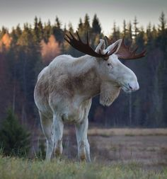Our guide Tommy Johansson took this amazing photo of a rare white Moose bull. See Moose in the wild: www.wildsweden.com