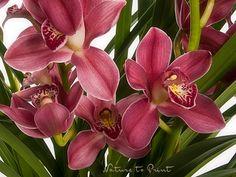 Blumenbild auf Leinwand oder Kunstdruck roter Orchidee