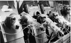 The 'Smoking Beagles'...forced to inhale smoke for experimental research. A.P.