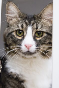 Cary Grant, adoptable at Feline Rescue