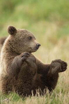 Grizzly bear cub. #Bear #Cute_Animals