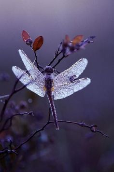 justbelieve2him:*~ Dewy Dragonfly ~*