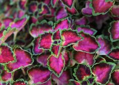 Pokojová kopřiva 'Great Falls Angel' - Coleus blumei 'Great Falls Angel' | Zahradnictví FLOS Great Falls, Pesto, Angel, Fruit, Flowers, Plants, Plant, Royal Icing Flowers, Flower