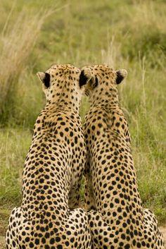 bigcatkingdom: Two Cheetahs Gaze on (by beeton_bear)