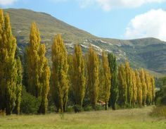 Autumn in Clarens, Eastern Free State, South Africa. Synonomous Poplar Trees found all over Clarens! Photograph by Martie van Niekerk Most Beautiful Beaches, Beautiful Places, All About Africa, Poplar Tree, Van Niekerk, Free State, Beaches In The World, Africa Travel, Travel Around The World