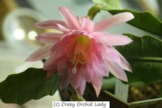 Epiphyllum 'Pink Cloud'