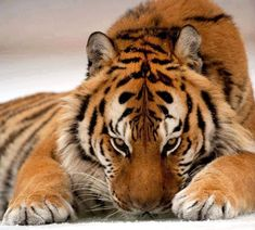Tigers, like most big cats, cannot purr. Here, I will share my love of this most magnificent of all cat species. Big Animals, Cute Funny Animals, Animals And Pets, Exotic Animals, Tiger Pictures, Cute Animal Pictures, Pumas, Big Cats, Cool Cats