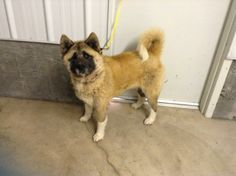 Waldo Akita Needs a home. For more information call 435-725-3649. Mon-Wed-Thur.  between noon and 5pm.  After hours call 435-733-0520.Our dogs and cats love to sleep on Kuranda beds, but we don't have enough for everyone.  If you would like to donate a bed at a special...