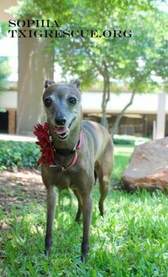 Sophia Italian Greyhound • Adult • Female • Small Texas Italian Greyhound Rescue Flower Mound, TX