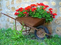 Old rustie wheelbarrow has turned to container for red geraniums. Oh, how pretty this is!