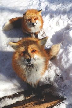 Yes, a Fox Village Exists and It's Exactly as Cute as It Sounds - Cheezburger