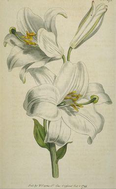 White Lily 278.jpg - 101123 Bytes