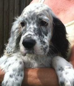 White And Gray English Setter Dog
