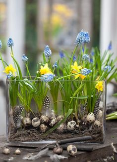 daffodils and grape hyacinths             From sandsdrommar         via Debra Phillips @ 5th and State blog