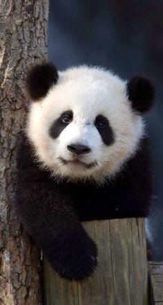 Cute panda cub Panda Bebe, Red Panda, Hello Panda, Panda Panda, Panda Wallpapers, Panda Funny, Cute Panda, Pet Birds, Save The Pandas