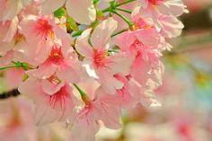 Čerešňové Kvety, Jar, Rastliny
