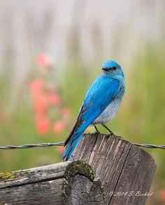 by: Scott Bechtel. The ones around me I think were called eastern Bluebirds. They had kinda' orange breast feathers like a Robin Flock Of Birds, Wild Birds, Love Birds, Beautiful Birds, Colorful Feathers, Colorful Birds, Bird Feathers, Cute Wild Animals, Tiny Bird